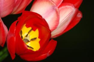 Tulip_1_DL